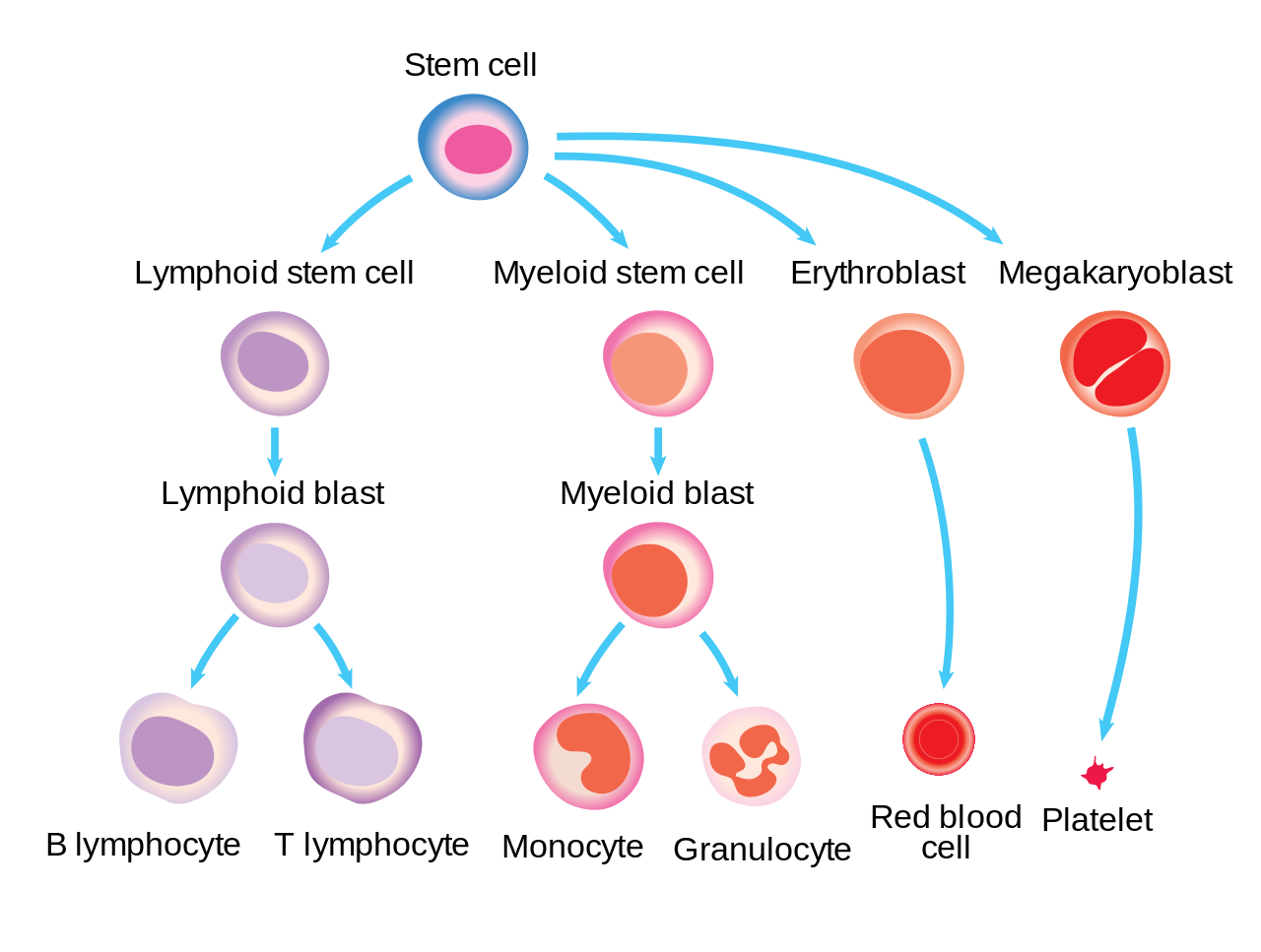 Diagram showing how blood cells are made